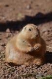 Chien de prairie obèse se reposant dans une pile de la saleté Photo stock