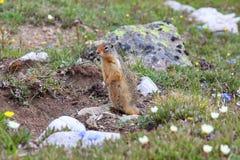 Chien de prairie se tenant dans le pré de Wildflower Photos stock