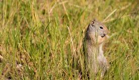 Chien de Prarie mangeant le refuge national Jackson Wyoming d'élans de Tetons d'herbe Image libre de droits
