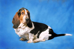 Chien de race de Basset Hound Photos libres de droits