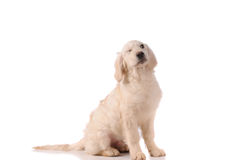Chien de race de golden retriever Photographie stock libre de droits