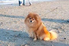Chien de race de Pomeranian sur une laisse Image stock