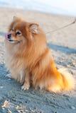 Chien de race de Pomeranian sur une laisse Photo stock