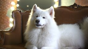 Chien de race heureux blanc se trouvant sur Sofa At Home clips vidéos