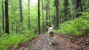 Chien de race labrador retriever marchant par le tir de cardan de Steadicam de forêt Le chiot blond de chien de Brown fonctionne  clips vidéos