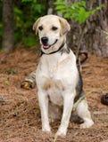Chien de race mélangé par chien de briquet Images libres de droits