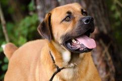 Chien de race mélangé par Chow Mastiff de chien d'arrêt Photographie stock