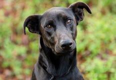 Chien de race mélangé par dobermann noir de Labrador Photos libres de droits