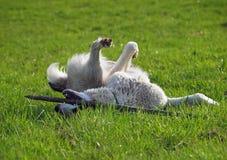 Chien de race un chien de moutons asiatique central dessus au pré vert Photographie stock libre de droits