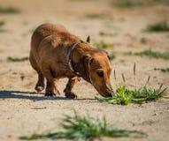 Chien de recouvrement russe de couleur de race de chien Images stock