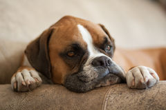Chien de repos de boxeur Photo stock
