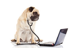 Chien de roquet d'isolement sur le docteur blanc de fond avec l'ordinateur Image libre de droits