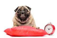 Chien de roquet s'étendant sur un oreiller rouge avec une horloge Images stock