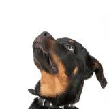 Chien de rottweiler images libres de droits