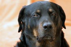 Chien de rottweiler Photographie stock libre de droits
