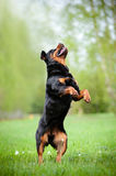 Chien de rottweiler sautant  photo stock