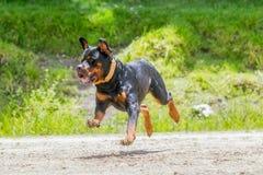 Chien de rottweiler sautant haut Photo libre de droits