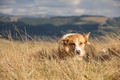 chien de Rouge-laine Images libres de droits