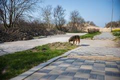 Chien de rue descendant la rue au printemps photo libre de droits