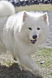 Chien de Samoyed Photos stock