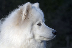 Chien de Samoyed Photo stock