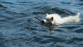 Chien de Samoyed dans l'eau photographie stock libre de droits