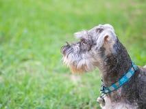 Chien de schnauzer de plan rapproché regardant sur le plancher brouillé d'herbe devant le fond de vue de maison Photo libre de droits