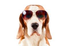 Chien de sentinelle dans des lunettes de soleil sur le blanc image libre de droits
