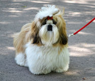 Chien de Shih Tzu photo stock
