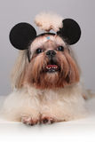 Chien de Shih Tzu dans des oreilles de souris de mickey Image stock
