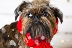 Chien de Shihtzu utilisant le chapeau de Santa Claus Année du concept de chien Photos stock