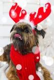 Chien de Shihtzu utilisant le chapeau de Santa Claus Année du concept de chien Images stock