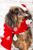 Chien de Shihtzu utilisant le chapeau de Santa Claus Année du concept de chien Photographie stock libre de droits