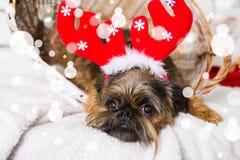 Chien de Shihtzu utilisant le chapeau de Santa Claus Année du concept de chien Image libre de droits