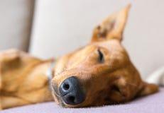Chien de sommeil Images stock