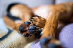 Chien de sommeil Photo stock
