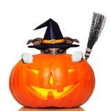 Chien de sorcière de potiron de Halloween images stock