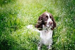 Chien de springer spaniel se reposant dans l'herbe avec son hangin de langue Image stock