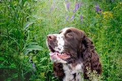 Chien de springer spaniel se reposant dans l'herbe avec son hangin de langue Images stock