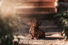 Chien de teckel Photo stock