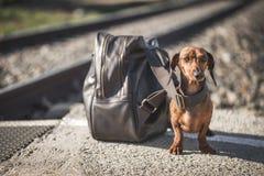 Chien de teckel se reposant près du sac à dos sur la plate-forme Photographie stock