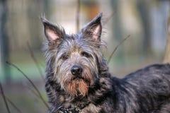 Chien de Terrier Images stock