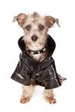 Chien de Terrier avec le collier pointu et la veste en cuir Images libres de droits