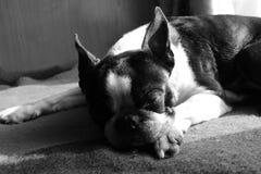 Chien de terrier de Boston dormant sous le soleil Images stock