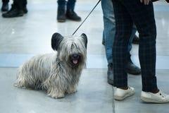 Chien de Terrier de cairn à l'exposition canine, en voyage photographie stock libre de droits