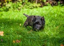 Chien de Terrier de cairn sur l'herbe photos libres de droits