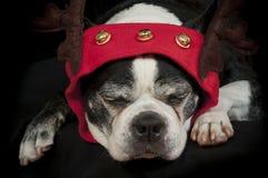 Chien de terrier de Boston avec le déguisement de Noël Images libres de droits