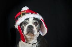 Chien de terrier de Boston avec le déguisement de Noël Photographie stock