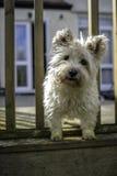 Chien de Terrier de cairn regardant  Image stock