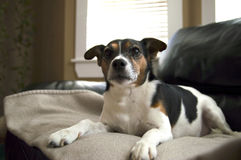Chien de terrier de Jack Russell détendant sur les WI couvrants beiges d'un résumé Images stock